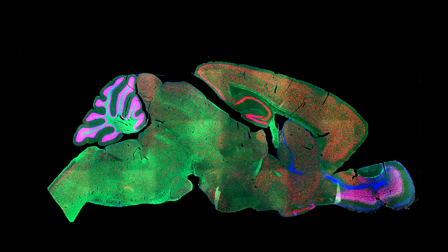 in-depth-analysis-sorts-mouse-cortex-into-133-cell-types-311343