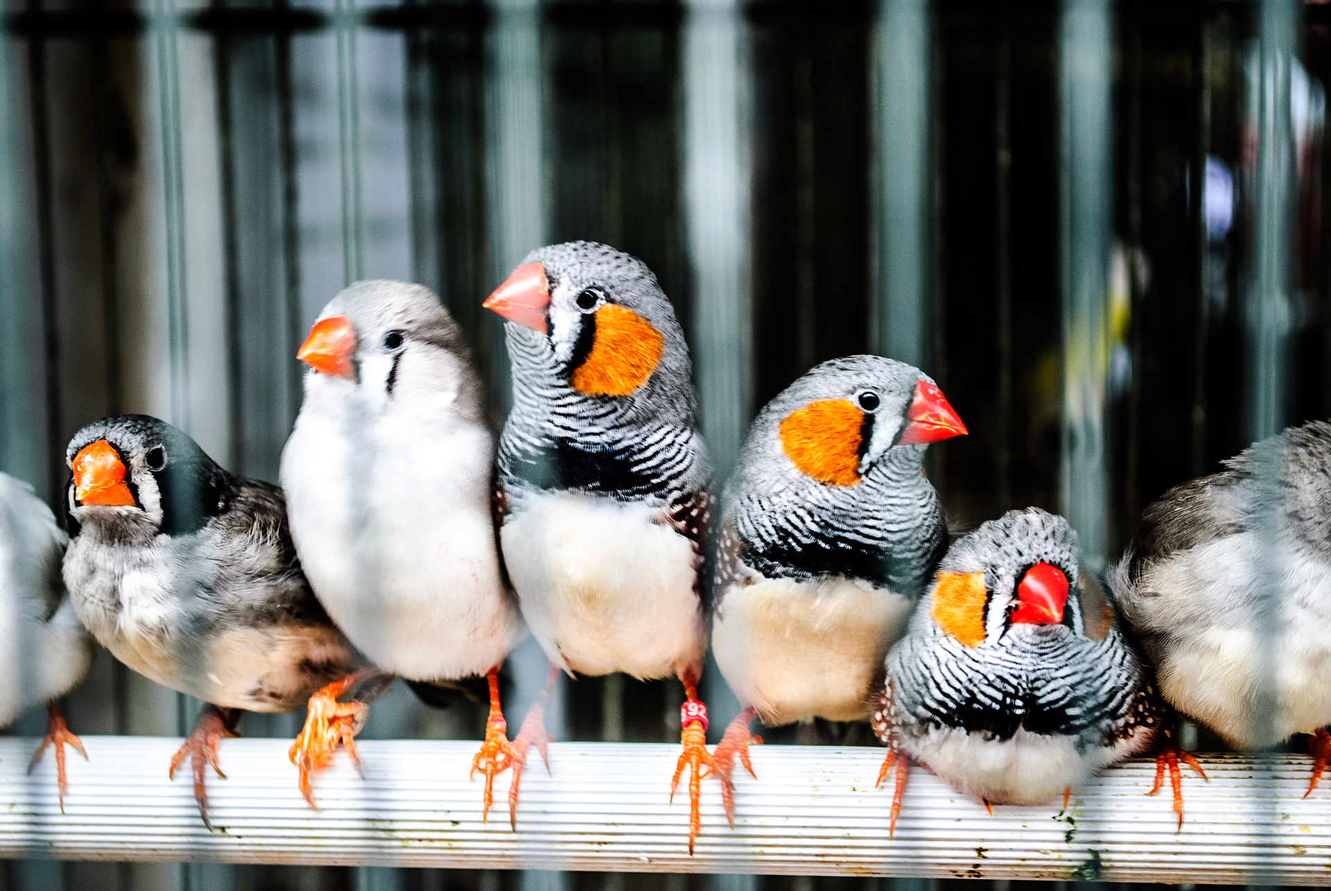 zebra finches in a cage.jpg